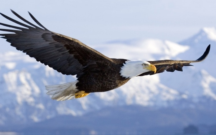 flying-eagle-pictures-free-download